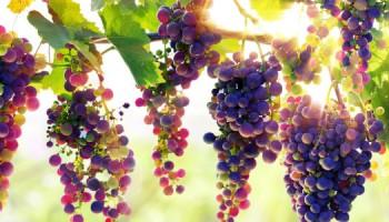 druiven_rank_shutterstock-1100x300jpg