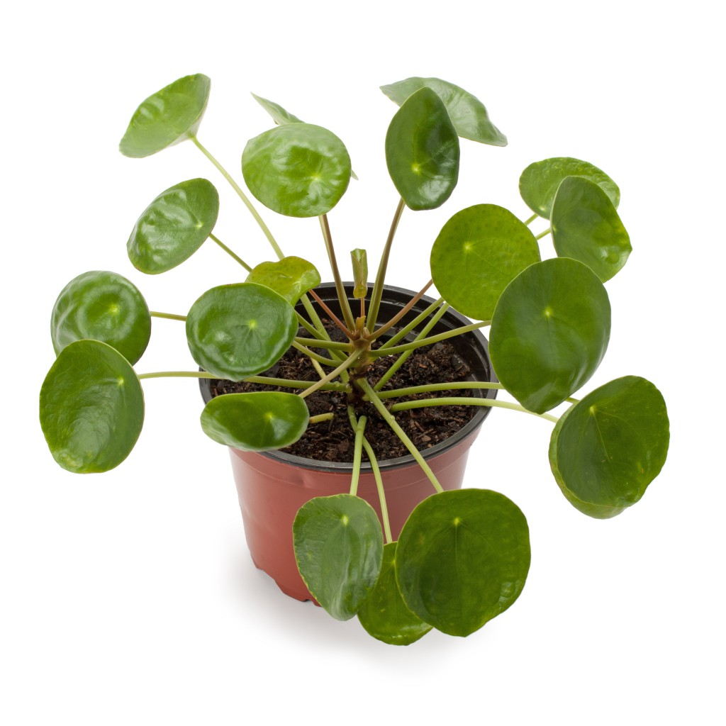 pannenkoekplant pilea peperomioides max vandaag. Black Bedroom Furniture Sets. Home Design Ideas