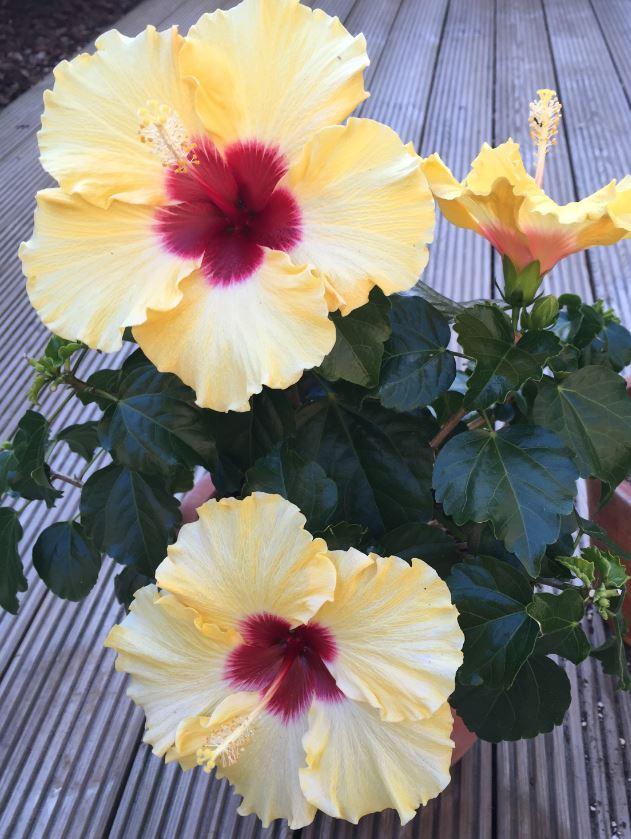 hibiscus_geel