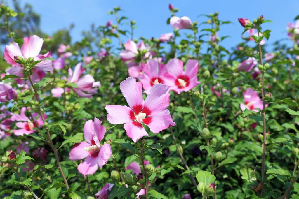 hibiscus_syriacus_shutterstock