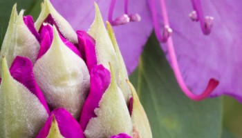 rhododendron_knop_shutterstock-1100x300jpg