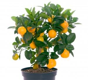 sinaasappelboompje_shutterstock