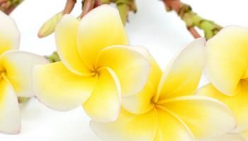plumeria_rubra_bloemen_shutterstock-1100x300jpg