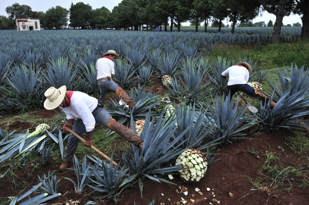 agave_tequila_shutterstock