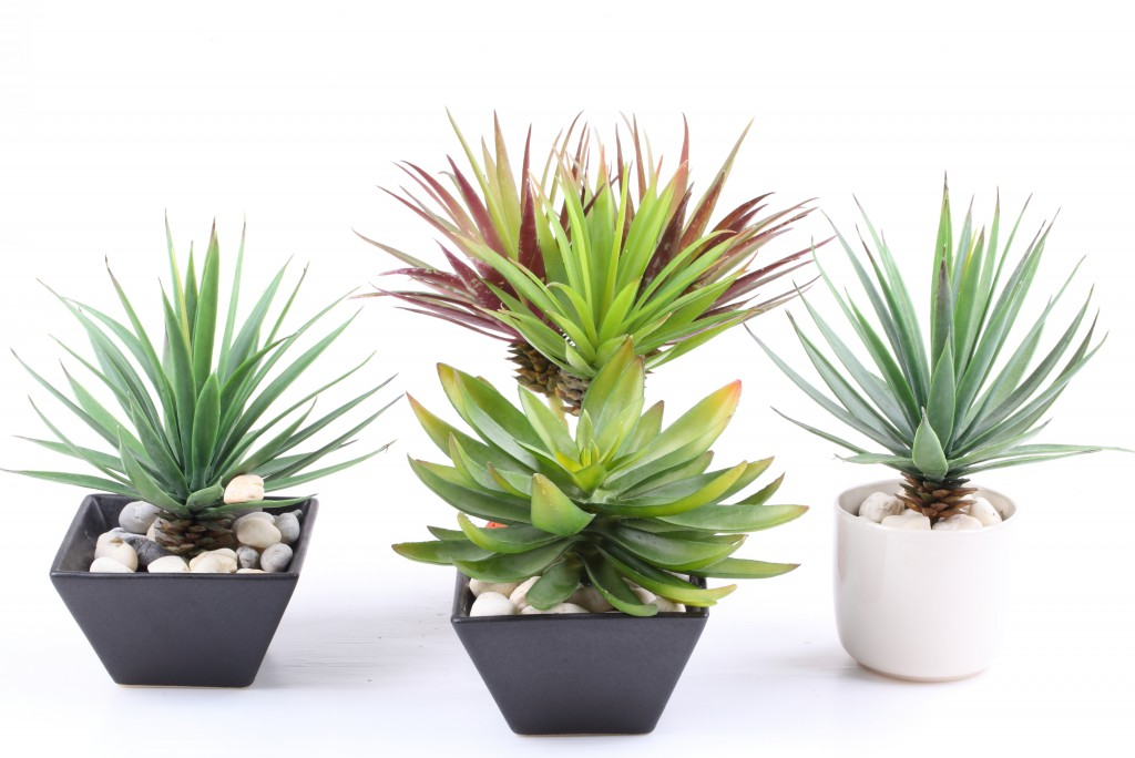agaves_in_pot_shutterstock
