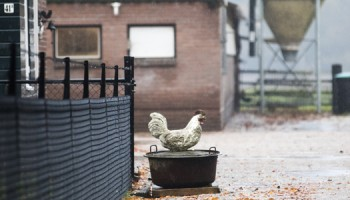 vogelgriep, boeren erf