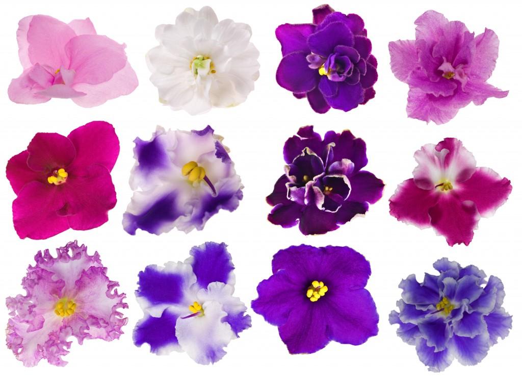 kaaps viooltje giftig