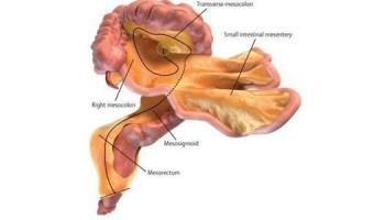 orgaan mesentarium