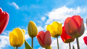 tulpen-meivakantrie