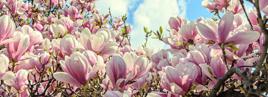 magnolia_shutterstock-1100x400.jpg