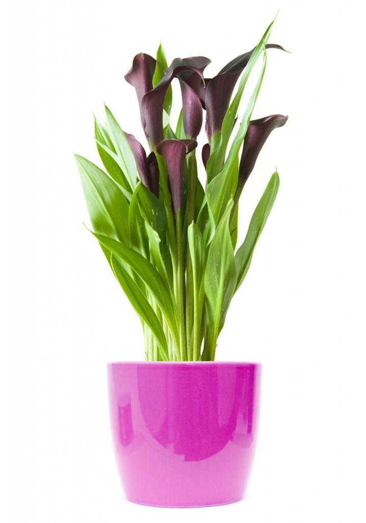 Calla zantedeschia max vandaag for Lilium in vaso