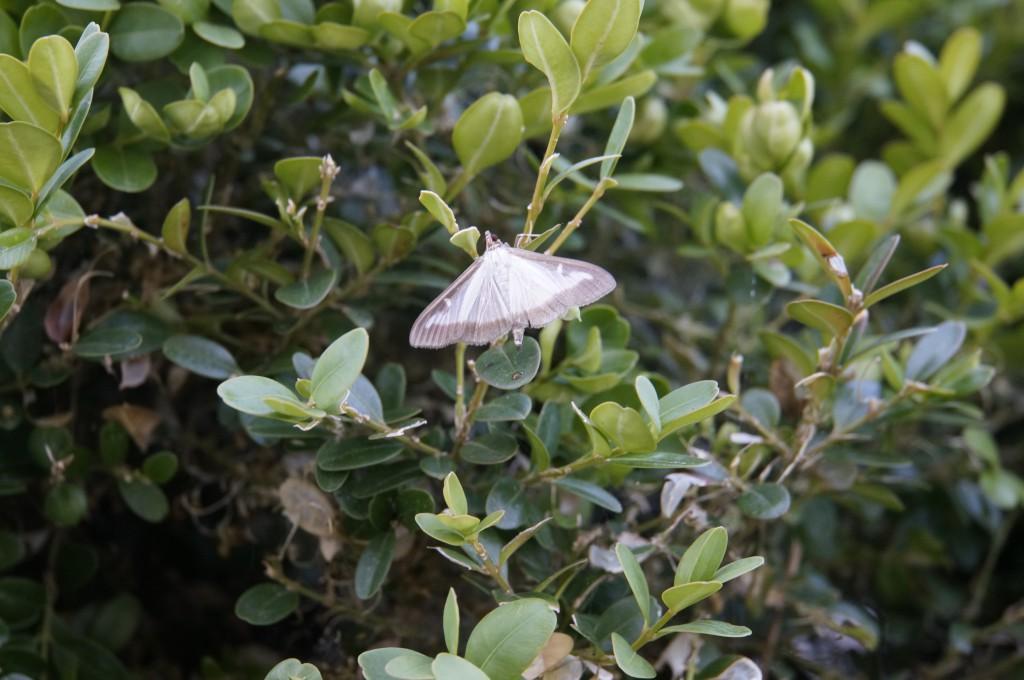buxusmot_vlinder_shutterstock