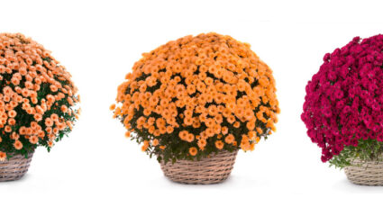 potchrysant