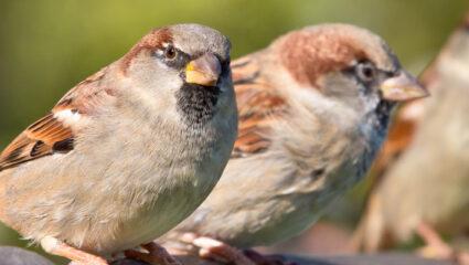 stadsvogels