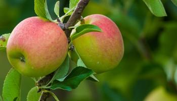 Fruittelers in Zuid-Limburg in zwaar weer