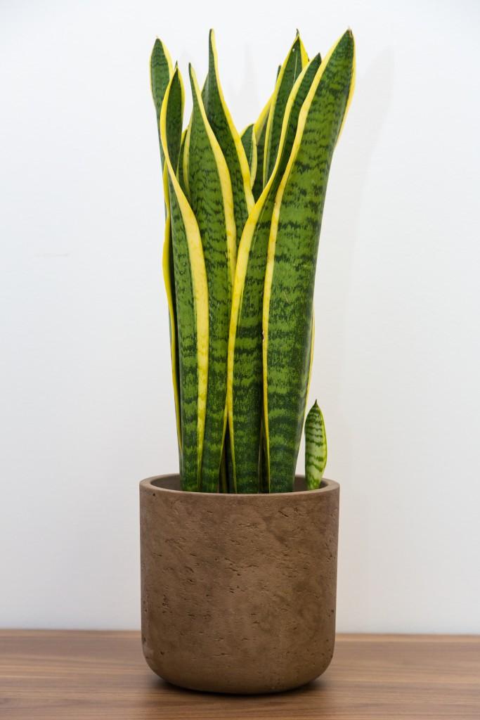 Vrouwentongen sansevieria trifasciata max vandaag for Plante exterieur pot sans entretien