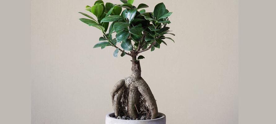 Bonsai vijg