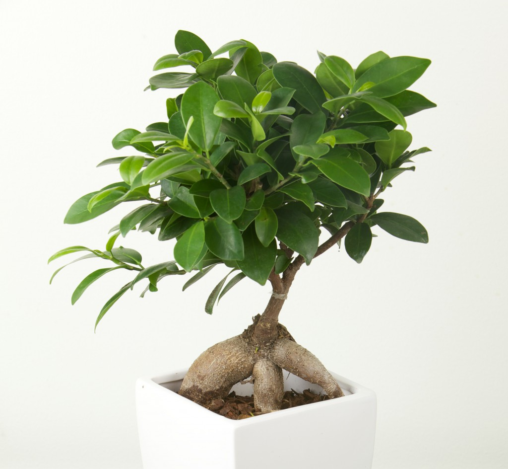 bonsai vijg ficus microcarpa ginseng max vandaag. Black Bedroom Furniture Sets. Home Design Ideas