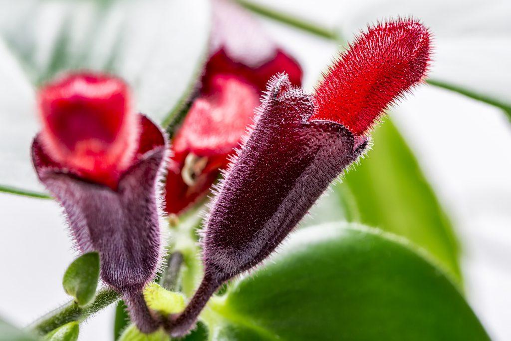 Lipstickplant