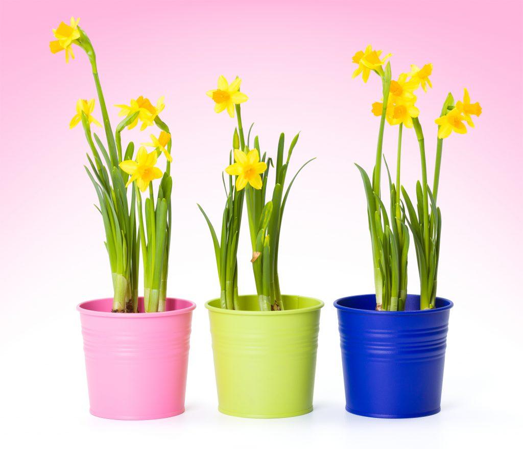 Voorjaarsbollen