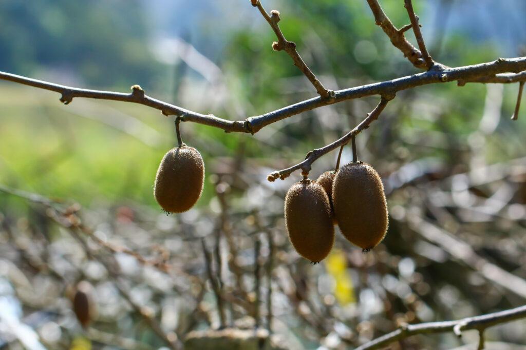 kiwi's kweken