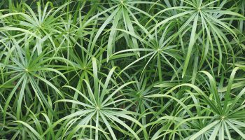 Papyrusplant