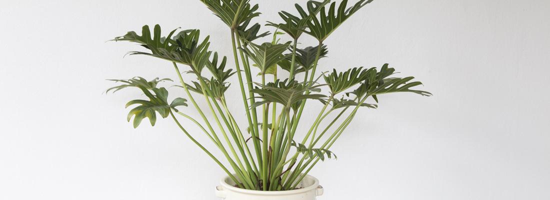 Kamerplant Hoge Pot.Philodendron Xanadu Max Vandaag