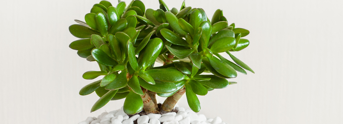 Favoriete Jadeplant: Crassula ovata - MAX Vandaag &EG85