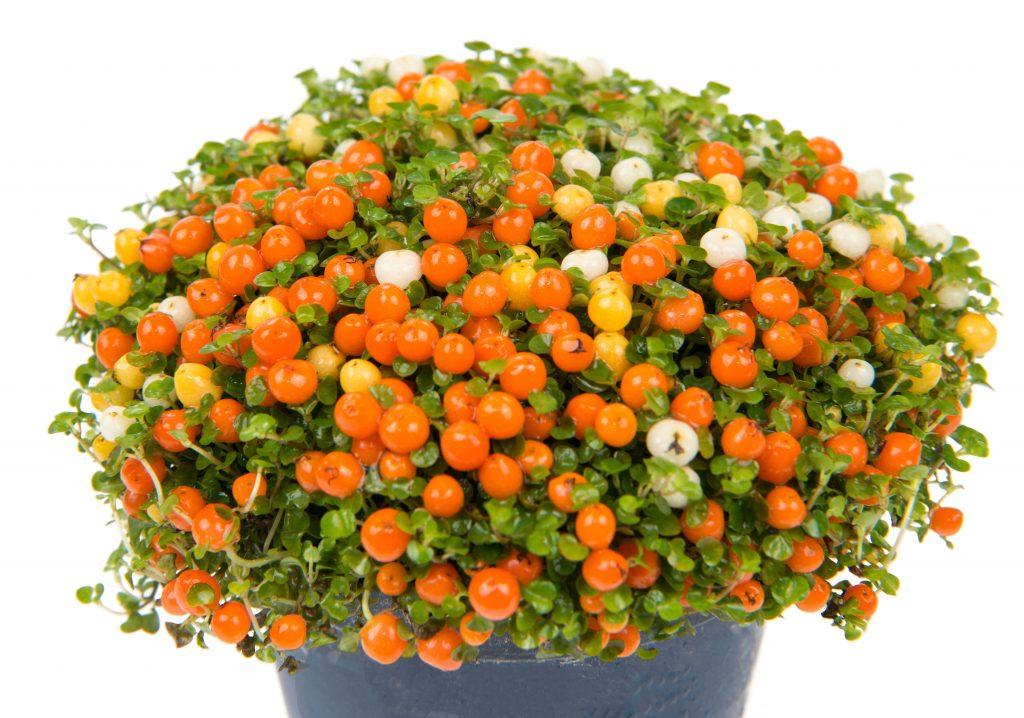 koraalmos