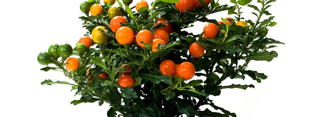 Oranjeboompje
