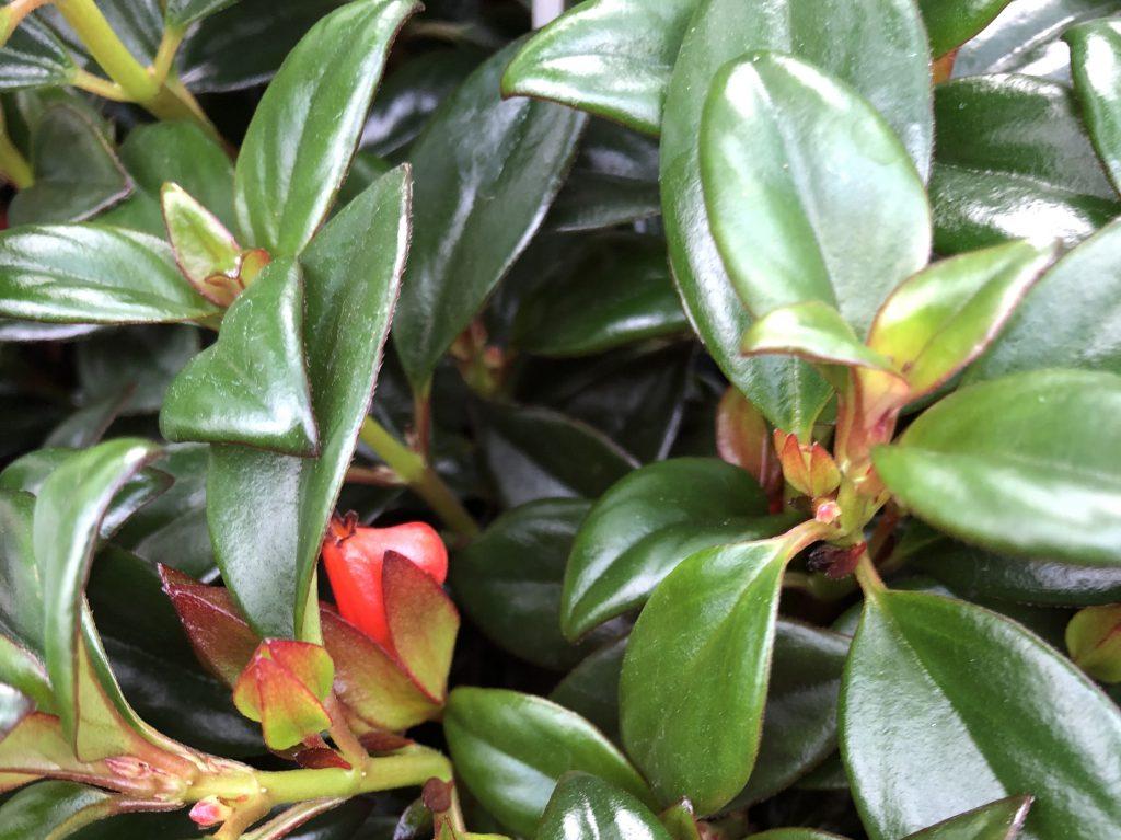 Goudvisplant