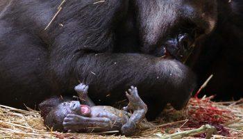 gorilla's