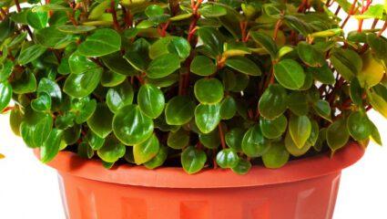 Schildpadplant