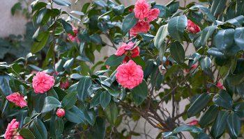 Japanse roos