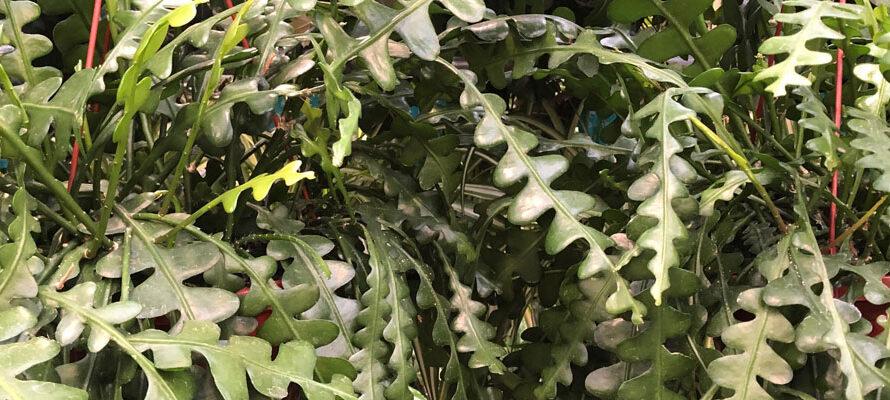 Zaagcactus