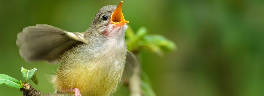 vogelgeluiden