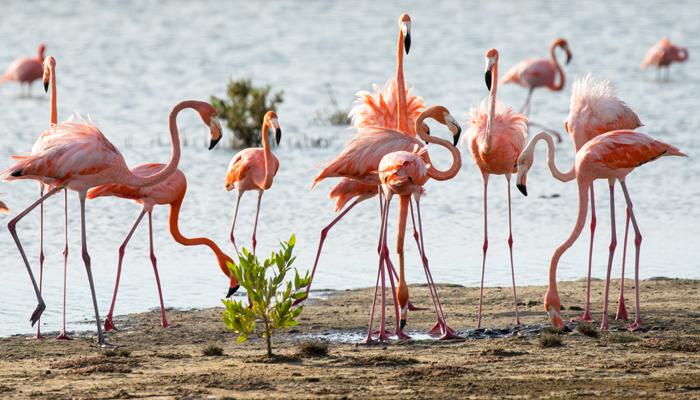 Flamingo, Bonaire