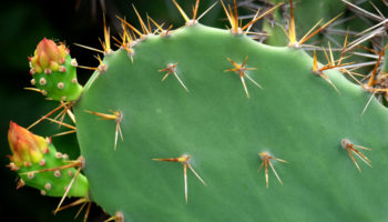 Vijgcactus