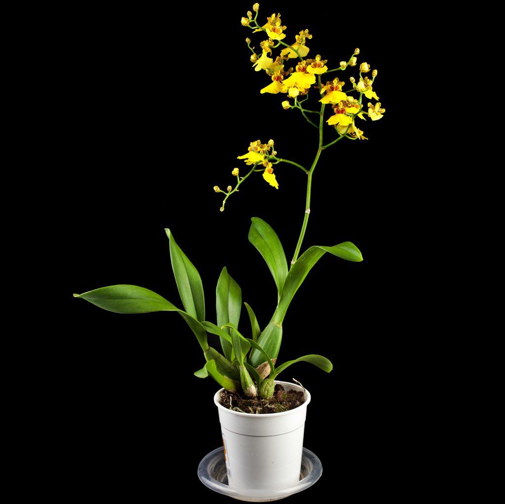 Tijgerorchidee