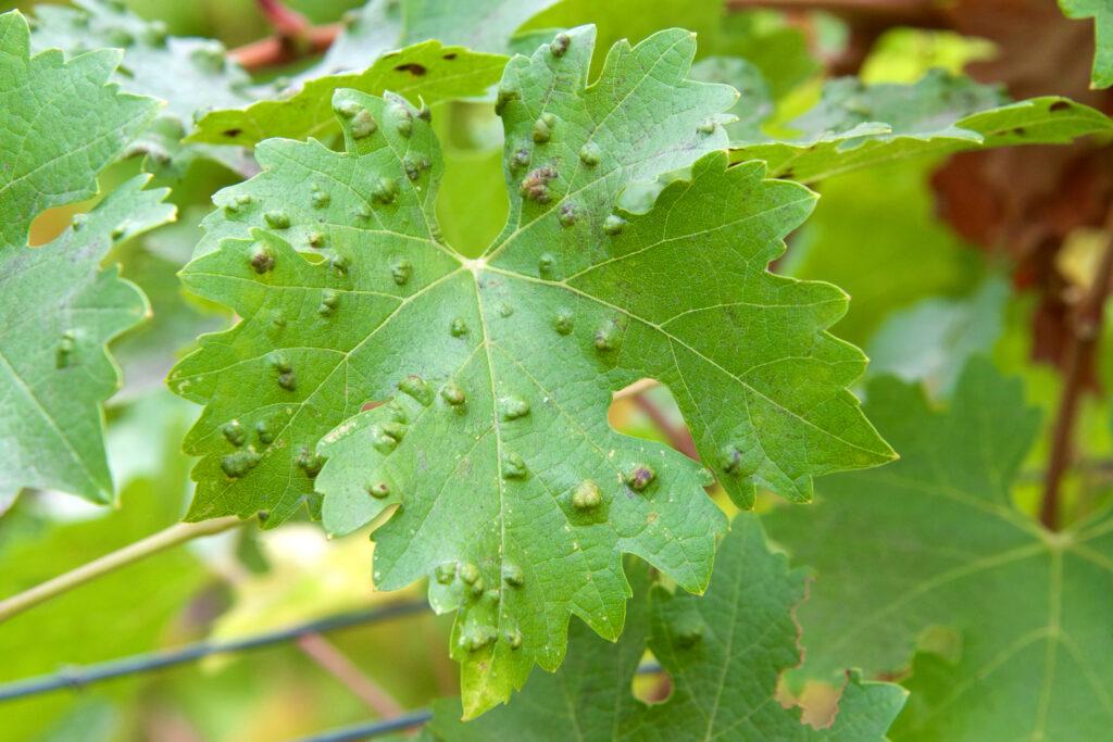 druivenviltmijt