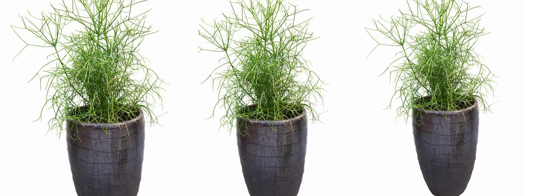 potloodplant