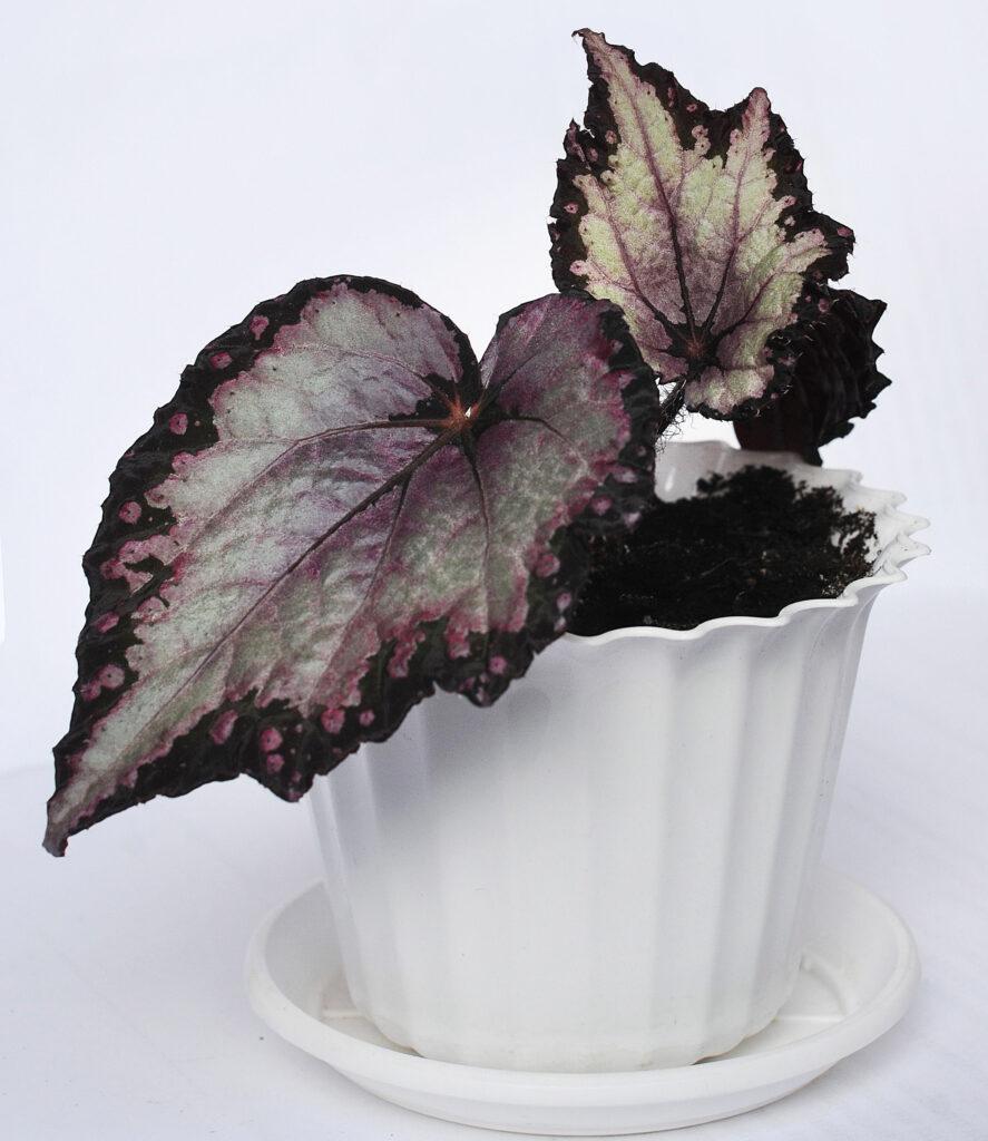 bladbegonia