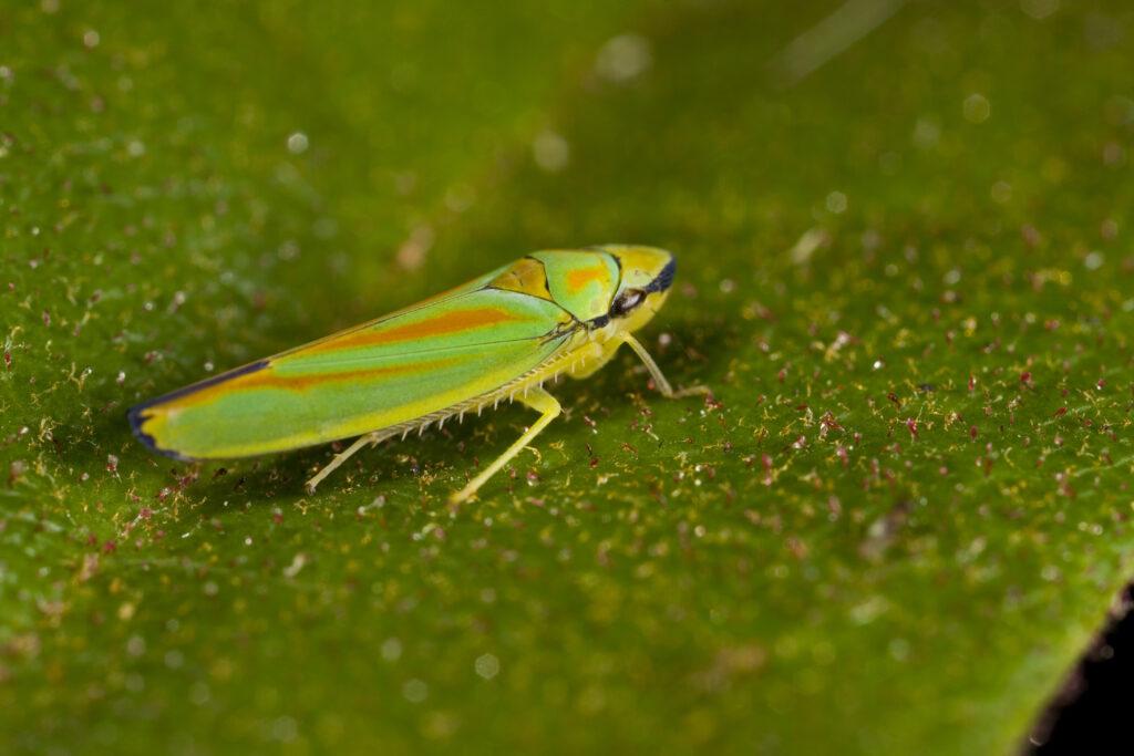 cicaden