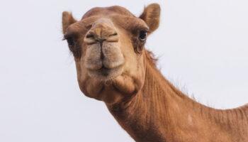 kamelenmelk