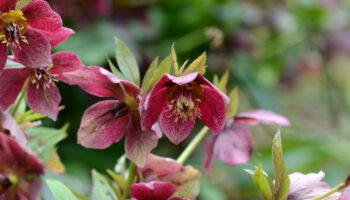 vaste planten border, helleborus