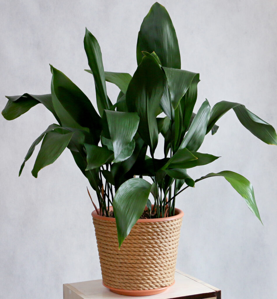 Kwartjesplant