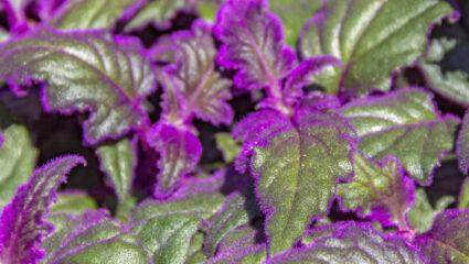 Fluweelplant