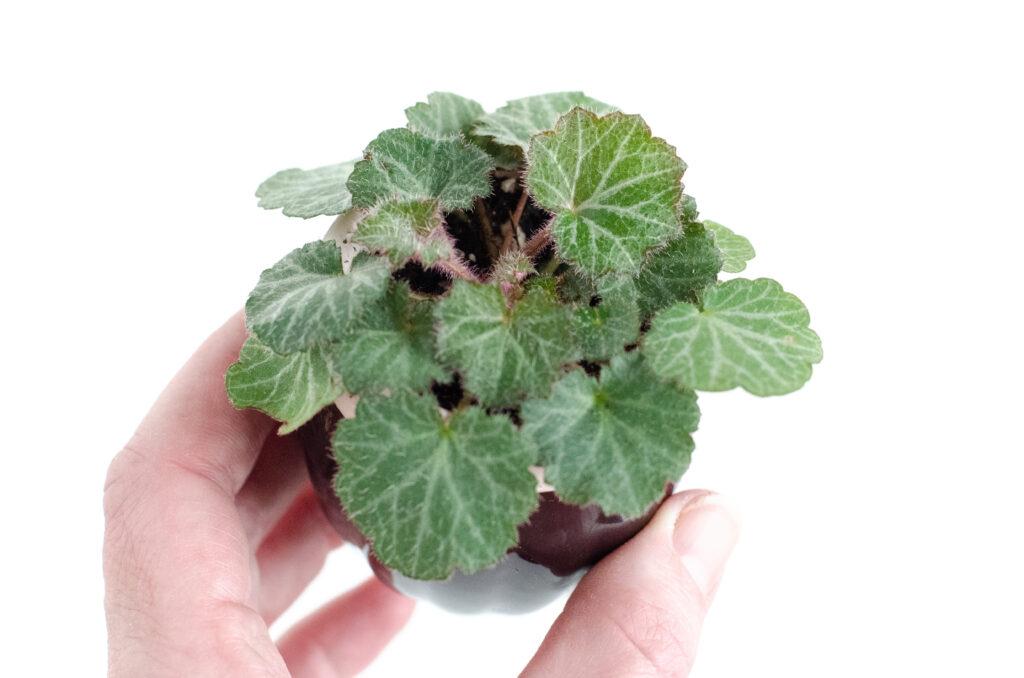 Moederplant
