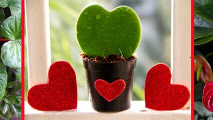 hartvormige kamerplanten
