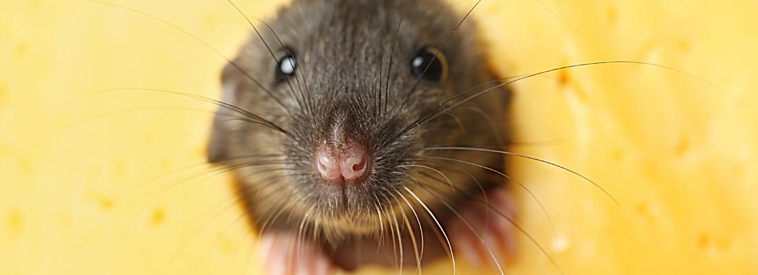 zijn muizen te vangen met kaas